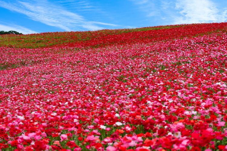 天空のポピー畑