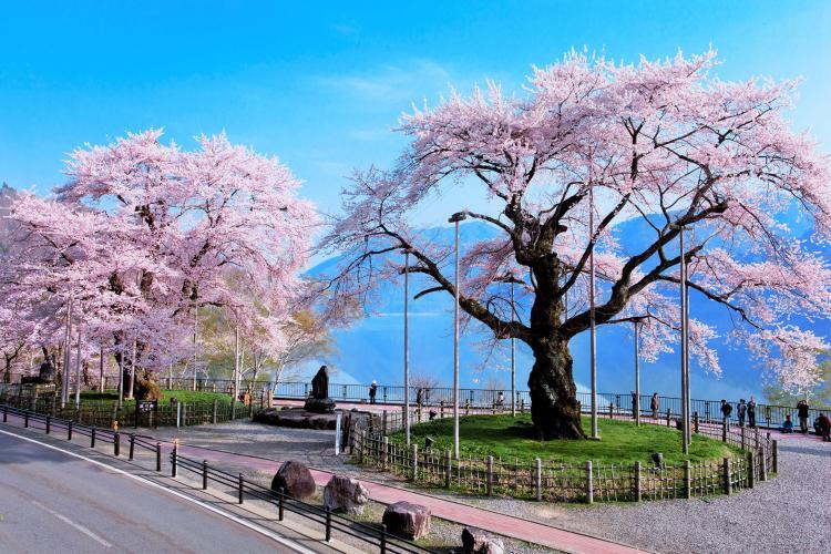 荘川桜(御母衣湖)
