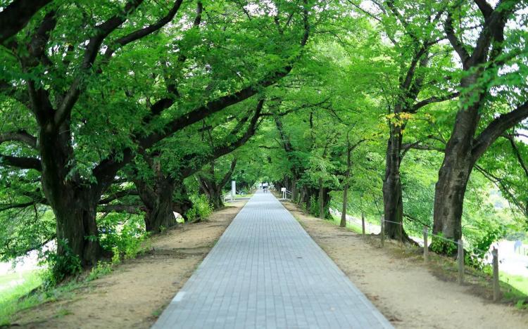 背割堤(淀川河川公園背割堤)