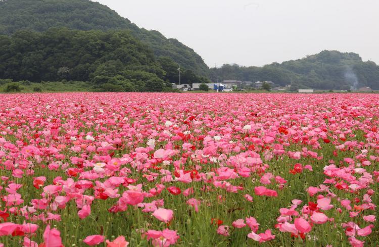 笠岡湾干拓地の花畑