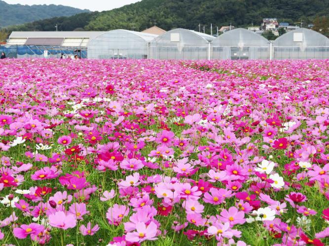 総合園芸農場 花の海