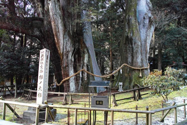 杉の大スギ