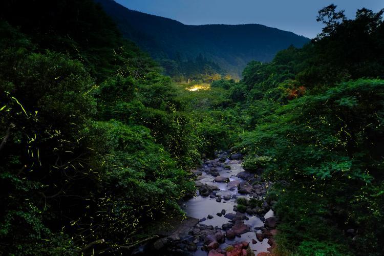 岩屋川内川の蛍